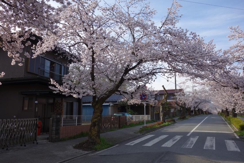 長瀞北桜通り