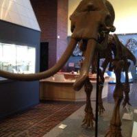 アケボノゾウ化石