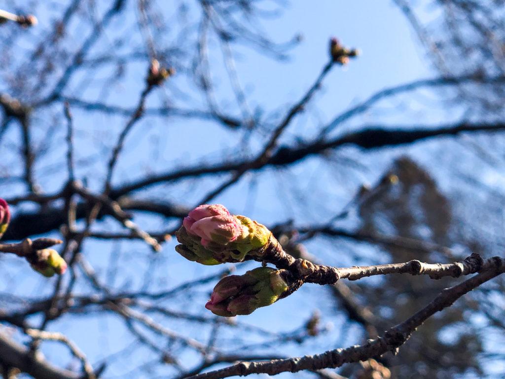 3月25日アムスハウス&フレンズの標本木(長瀞北桜通りソメイヨシノさんの様子