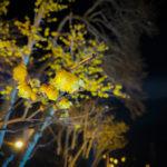 ロウバイ園のライトアップ